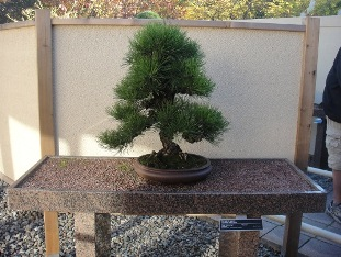Bonsa voyage travers le qu bec for Bonsai de jardin