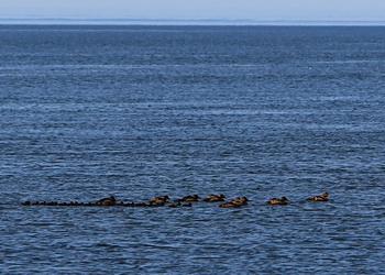 canards du parc marin