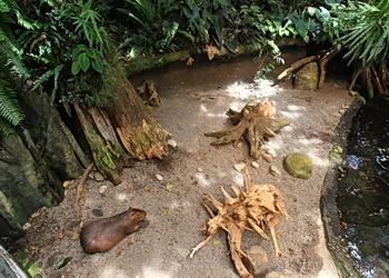 gros capybara