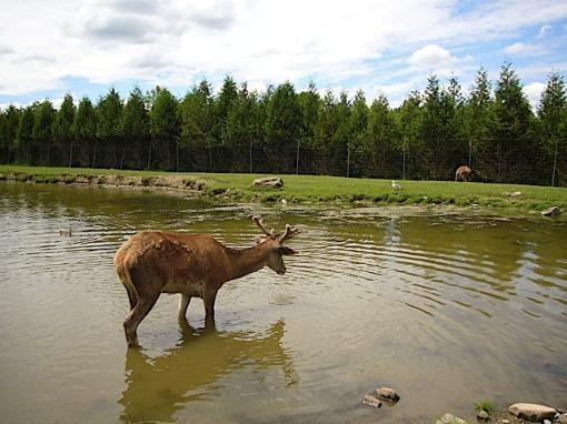 caribou au québec