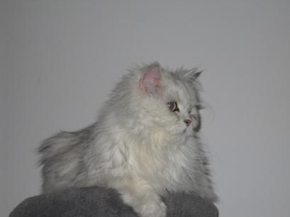 cattus blancus
