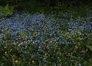 champ de fleurs bleues