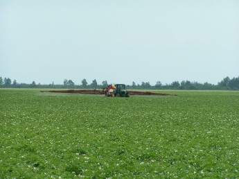 champ de pommes de terre