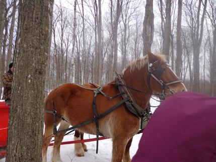cabane à sucre érablière cheval canadien