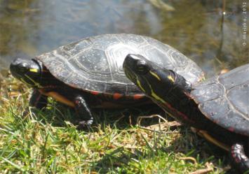 tortues au québec