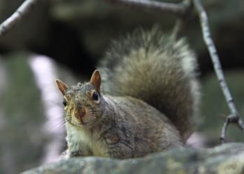 ecureuil au parc mont royal