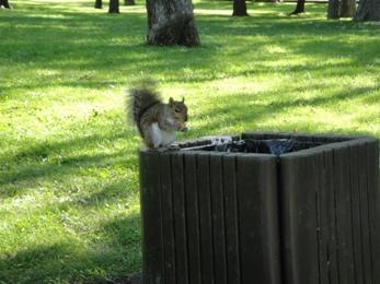 écureuil du parc la fontaine