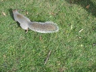 la queue de l'écureuil