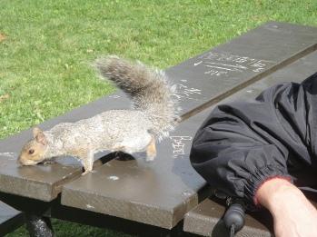 ecureuil mont royal