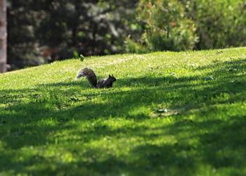 ecureuil du parc mont royal