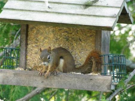 écureuil au québec