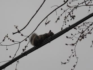 écureuil sur fil