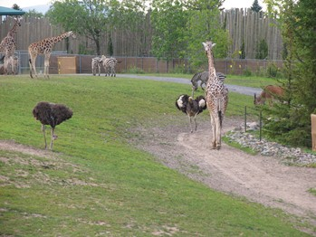 emeus zebras girafes