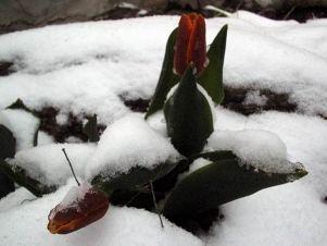 fleur neige