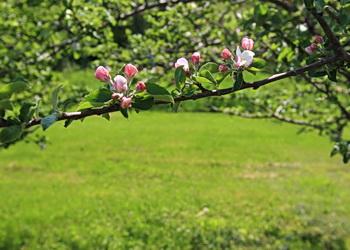fleurs pommes