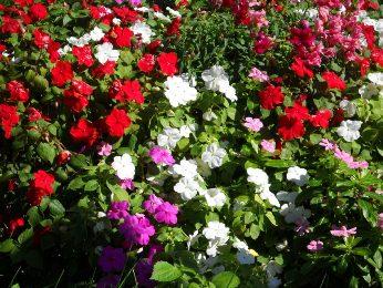 fleurs violettes et rouges et blanches