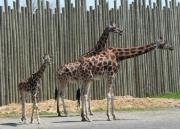 girafes de granby