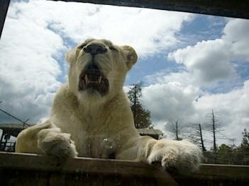 lion du québec