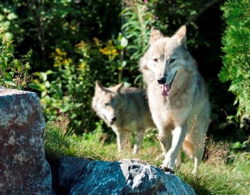 loups du bioparc de la gaspésie