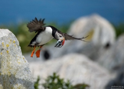 macareux en vol