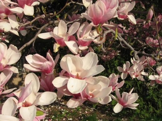 magnolia, fleurs, québec