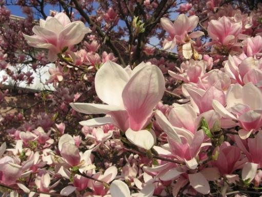 floraison magnolia