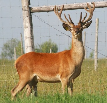 male cerf