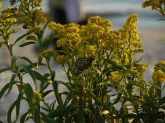 nature papillon québec