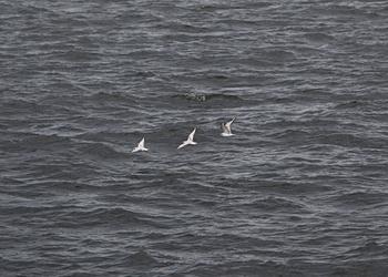 oiseaux_marins
