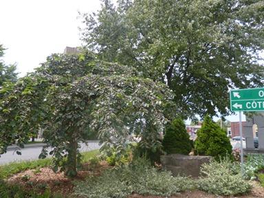 arbre orme parasol