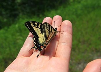 papillon sans peur ni reproche