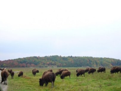 parc bisons