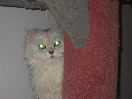 persian silver shaded purebrad cat in quebec