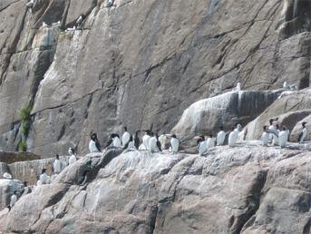 petits penguins