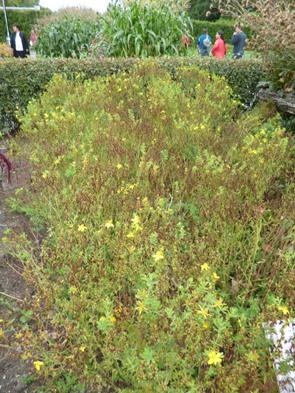 plante tinctoriale