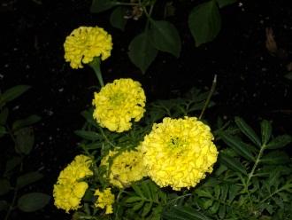 pollen fleurs