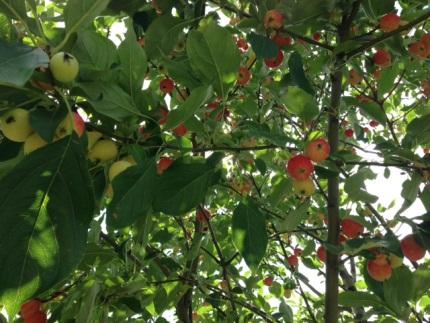 pommes matures