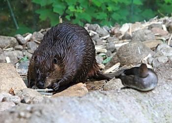 queue du castor