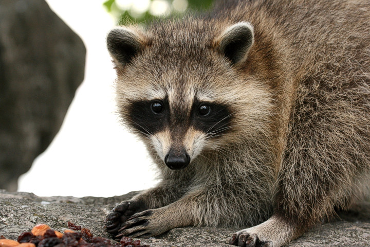 raccoon curieux