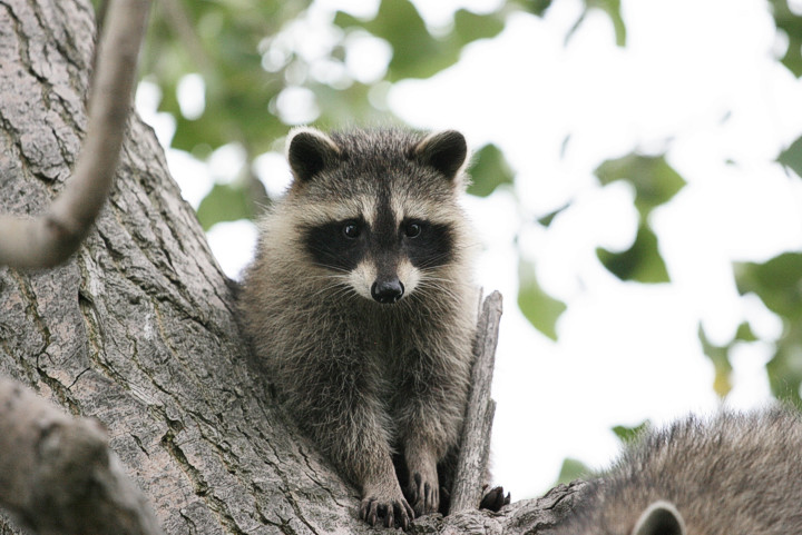 raccoon on the tree