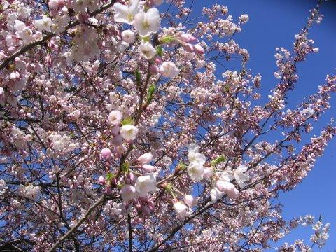 sakura canada