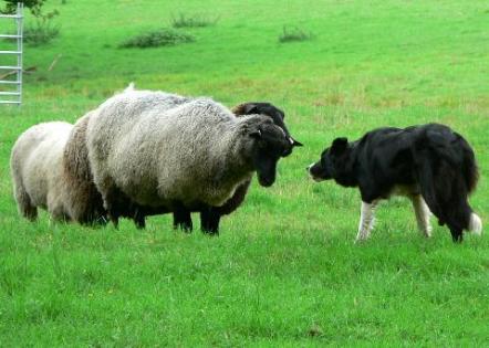moutons et un chien