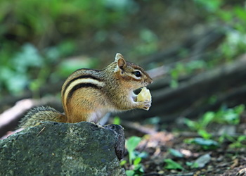 un suisse qui mange