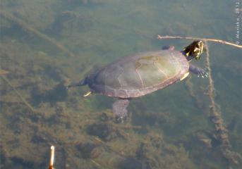 tortue québec