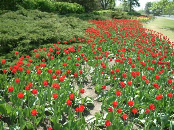 tulipes à ottawa