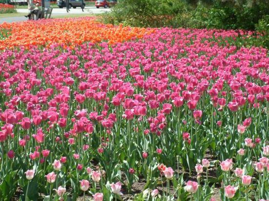 festival de tulipes à ottawa
