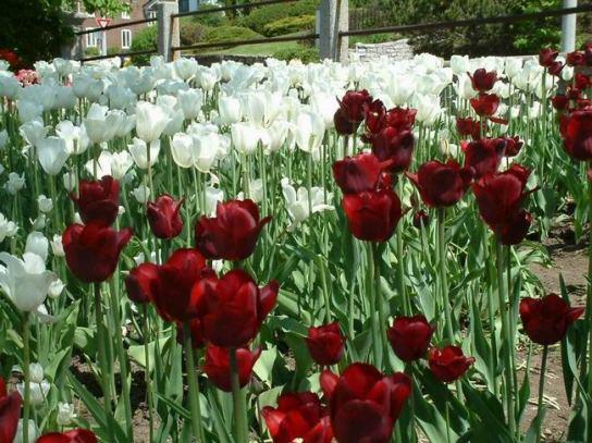 tulipes ottawa festival